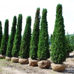 THUJA OCCIDENTALIS Degroots Spire Arborvitae